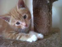 ginger kitten 4 month
