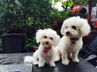 Bichon frise pedigree puppies