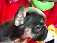 KC REGISTERED FRENCH BULLDOG PUPS. READY TO GO