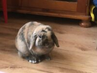mini lop small type harlequin buck pick up nr9 area