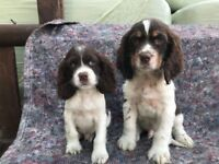 Beautiful Liver and White Cocker Spaniel Puppies Now Available