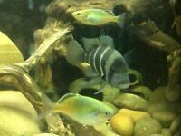 Frontossa - African cichlid