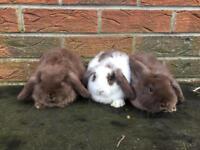Baby mini lop rabbits