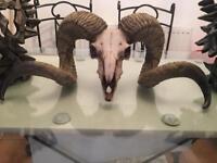 Ram Skull from Wales (Resin)