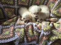 Maltes puppy2boy1girl