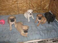 French Bull Dog Frugs