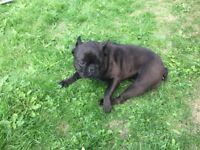 french bulldog female 1 year old