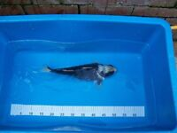 pond koi fish