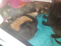 Gorgeous kittens 1 ginger 2 black
