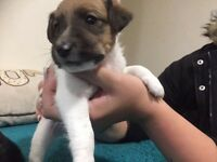 Beautiful Jack Russell/Fox Terrier puppy's.