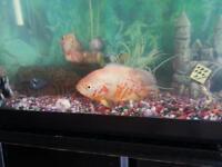 Fish Albino Oscar