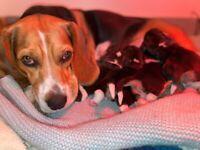 2 Beagle Puppies