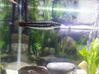 Channa micropeltes - tropical fish oddball