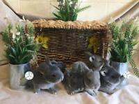 Mini lop cross bunnies