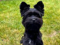 Black Yorkshire Terier