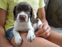 english springer spaniel puppies liver and white kc reg