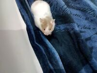Beautiful baby Syrian hamsters