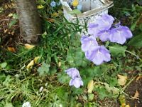 Campanula plants (not in flower yet) in a small 10 cm plastic pot