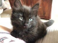 Beautiful female Bengal mixed ragdoll kitten