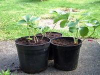 Strawberry Plants 1.5Lt Pots at £1.50 each