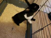 1 year old male rabbit with double cage