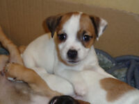 4 beautiful Jug Puppies for sale.