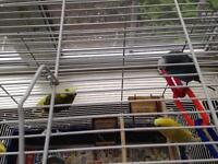3 budgie birds and accessories
