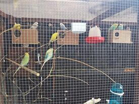 8 budgies 4 hen 4 cocks for sale