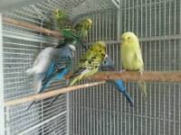 4 pairs of budgies for sale.