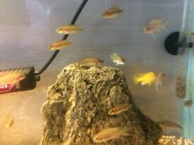 Alto Compressiceps. Yellow labs. Brichardi