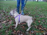Beautiful blue fawn french bulldog pup, Please read.