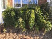 Bamboo (free)