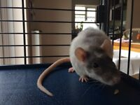 Double Rex Rat Sisters & their fantastic home for sale plus lots of extras