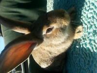 Continental Giant Rabbit Buck