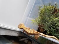2017 crested gecko