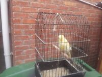 Norwich, yorkshires canaries, for sale