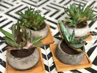 Aloe Vera plants   cement pots   bamboo trays