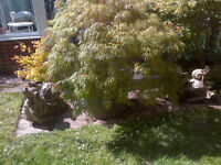 Large Mature Acer [Japanese Maple] in Tub