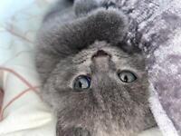 British short hair kitten sold