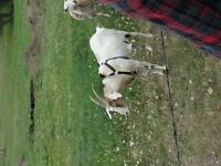 female nubian goat
