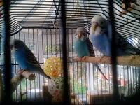 Beautiful tame Blue and mixed colour budgies