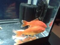 2 Big Goldfish Pair For Fish Tank Aquarium