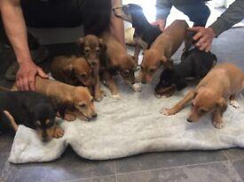 Lurcher x saluki puppies