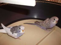 2 beautiful baby budgies for sale