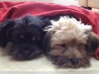 2 x Shih-tzu x poodle dogs for sale