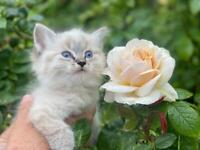 Stunning Ragdoll Kittens from health tested parents