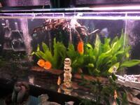 About 20x discus fish for sale plus some corys including
