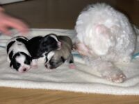 Gorgeous Malchi Puppies for sale