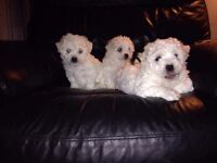 Bishion freise cross cavashion puppies