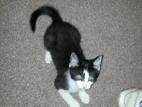 12 week old female kitten